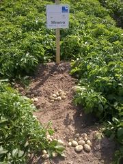 качественный картофель семенной Германия,  Нидерланды