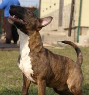 Подрощенный щенок Мини Бульки