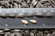 семечка калиброванная