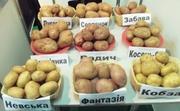 Продам картофель товарный и семенной