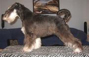 Цвергшнауцер- самая маленькая служебная собака в мире!