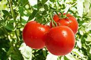 Самые свежие томаты с поля!