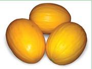 Семена дыни AGASI F1 / АГАСИ F1 фирмы Китано