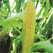 Предлагаем купить семена сахарной кукурузы компании Lucky Seed