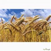 Покупаем пшеницу 2кл. ДП