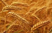 семена пшеницы импортной 1 р.