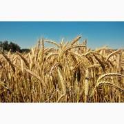 Куплю ячмінь,  пшеницю,  горох,  рапс